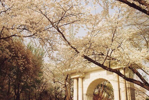 Hoa anh đào nở rộ trong khuôn viên trường Đại học Kyung Hee Hàn Quốc