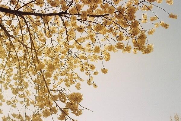 Hình ảnh hoa anh đào tại trường đại học Kyunghee