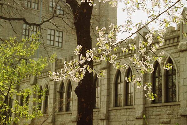 Trường đại học Kyunghee trồng hằng trăm loại hoa anh đào khác nhau
