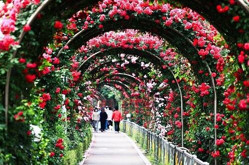 Bạn không nên bỏ lỡ những lễ hội hoa này ở Hàn Quốc